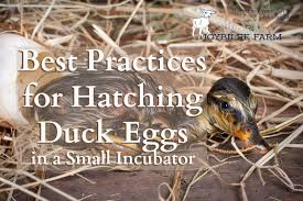 hatching ducklings at home isn t rocket science but a little science helps to