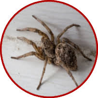 Michigan Spiders Identification Chart Michigan Spiders Can They Kill You May Group Realtors