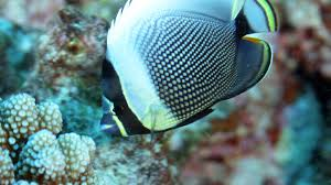 Samoan Fish Chart The Fish Directory Find Reef Fish From Pictures