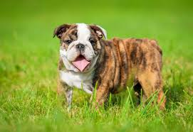 English Bulldog Weight Chart In Pounds Top 5 Best Dog Foods For English Bulldogs Buyers Guide 2017