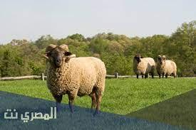 هل يجوز الجمع بين الاضحية والعقيقة ؟ - المصري نت