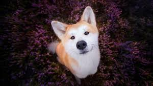 shibe wallpaper. Exellent Wallpaper Shiba Inu Wallpapers Intended Shibe Wallpaper X