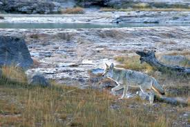 Image result for wikimedia commons images coyotes