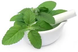 Resultado de imagen para basil herb