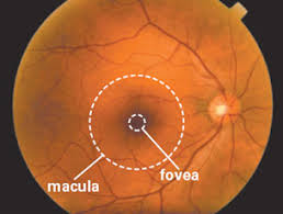 this photograph shows a normal healthy retina as viewed by an eye doctor during an
