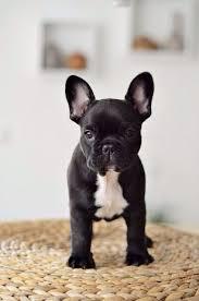 black and white french bulldog. Interesting French Black U0026 White French Bull Dog  Dog French Bulldog Pinterest Puppies  Dogs And Bulldog Puppies Throughout And White R