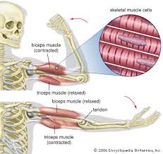 This is a list of muscles tested on in the muscular system portion of anatomy and physiology. Triceps Muscle Anatomy Britannica