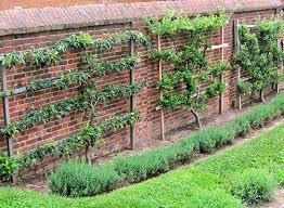 97 Best Espalier Ideas Images On Pinterest  Espalier Fruit Trees Growing Cordon Fruit Trees