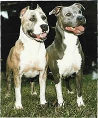 terrier pitbull puppies. Brilliant Puppies American Pit Bull Terrier Puppies For Sale Throughout Pitbull