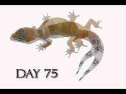 Leopard Gecko Size Chart Leopard Gecko Growth Video Time Lapse Morph Cremesicle