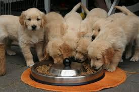 Golden Retriever Puppy Feeding Chart How Much To Feed A Golden Retriever Puppy A Daily Guide