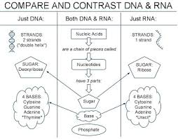 Venn Diagram Comparing Dna And Rna 01 Notes Dna Rna Diagram Biology Notebook