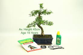 bonsai tree chinese elm 15 year old 45cm height indoor outdoor available to from