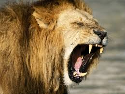 roaring lion wallpaper hd 1080p. Plain Wallpaper Roaring Lion Wallpapers To Wallpaper Hd 1080p