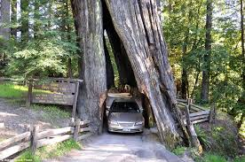 the angled opening of the shrine drive through tree in myers flat supposedly formed naturally
