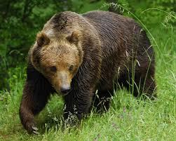 Доклад о буром медведе для детей