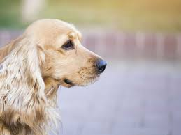 Canine Lymphoma Symptoms Liver Cancer In Dogs Symptoms Diagnosis And Treatment