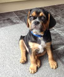 black and brown puggle. Simple Brown Black And Tan Puggle Throughout And Brown Pinterest