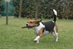 """Résultat de recherche d'images pour """"les chiens beagles"""""""