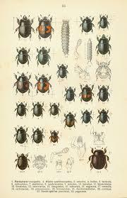 Black Beetle Identification Chart Histeridae Wikipedia