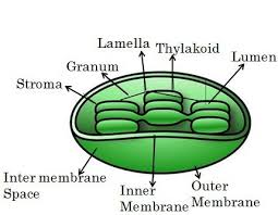 Chloroplast Mitochondria Venn Diagram Difference Between Mitochondria And Chloroplast With Comparison