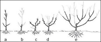 How To Prune Fruit Trees In South Africa  Plantinfo  EVERYTHING Prune Fruit Tree