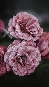 nf65-rose-pink-raindrop-flower-summer ...