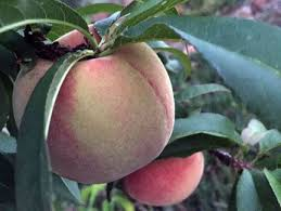 Guava Tree Information U2013 Growing And Caring For A Guava TreeSouthern California Fruit Trees
