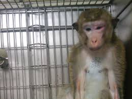 Image result for locked monkey