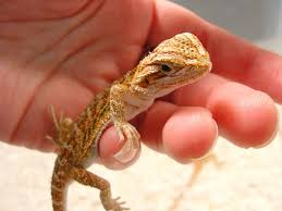 how to care for a baby bearded dragon