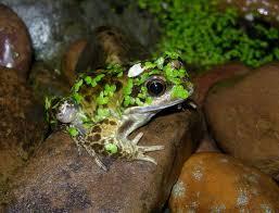 garden frogs. Interesting Garden Common Frogs In The Garden And G