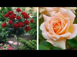 how to plant a standard rose summer