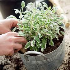 potting up herb plants