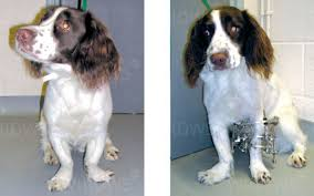 valgus dog. this springer spaniel has deformity of both fore limbs. the limbs are s-shaped with paws deviating to outside. left been corrected valgus dog e
