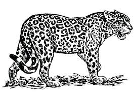 Jaguar Coloring Pages Easy Jaguars Coloring Pages Jaguar Coloring