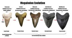 megalodon shark tooth compared to great white. Simple White This Chart Suggests The Possible Evolution Of Massive Megatooth Extinct Great  White Shark Carcharocles Megalodon There Is One Tooth Not Pictured That  Inside Megalodon Shark Tooth Compared To Great White A