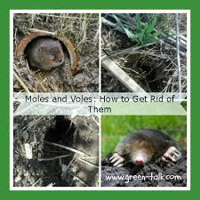 how to get rid of voles in garden. Brilliant Rid With How To Get Rid Of Voles In Garden