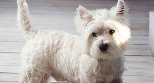 West Highland Terrier Growth Chart Westie Dog Breed Information Centre For The West Highland