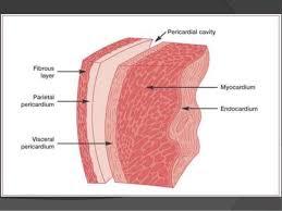 pericardial sac the pericardium