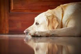 Hund fettgeschwulst oder tumor