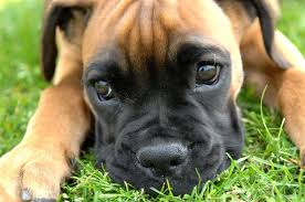 outstanding boxer puppies available for new homes