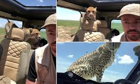 Cheetah jumps in next to a tourist inside a safari jeep in ...