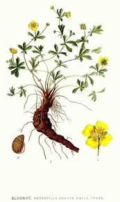 Potentilla erecta Tormentil, Erect cinquefoil PFAF Plant Database