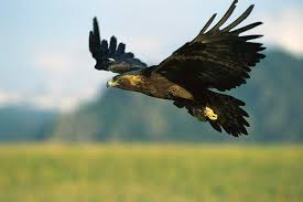 golden eagles flying. Contemporary Golden Mp Photograph  Golden Eagle Aquila Chrysaetos Flying By Konrad Wothe In Eagles