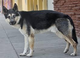 german shepherd husky mix full grown. Contemporary German Shepherd Husky Mix On German Shepherd Husky Mix Full Grown N