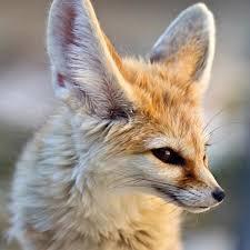 fennec fox. Plain Fox With Fennec Fox