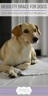 a mobility brace can lize hind limbs for dogs with arthritis and other orthopedic conditions