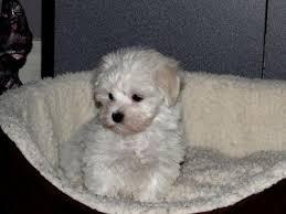 maltese dog. yogi maltese dog