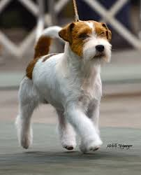 wire haired jack russell terrier. Wire Haired Jack Russell Terrier And On