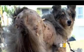 pitbull dog attacks man.  Man WeHo Pit Bull Attack Service Dog Crouton  To Pitbull Dog Attacks Man N